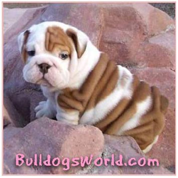 bulldogsworld bulldog gift store bull dog bull dogs 355x355